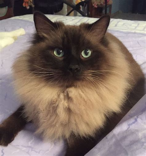 Dralion, Mink Ragdoll rare seal colorpoint | Cats and kittens