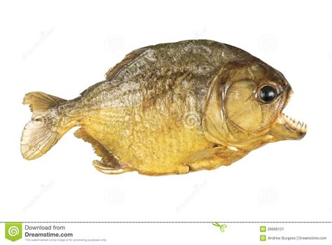 Red Belly Piranha On White Background Stock Image - Image