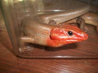 Redheaded Lizards (Broad-Headed Skinks) Information and
