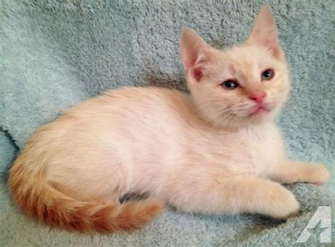Freddy - Blue-Eyed Flame Point Siamese Mix Male Kitten for
