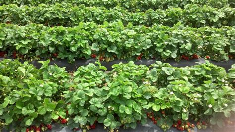Related Keywords & Suggestions for strawberry crops