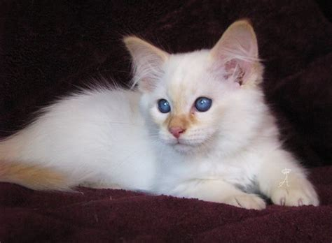 Azureys Cats - Balinese Color Point Galleries