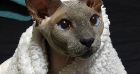 This very bald Sphynx cat is the magical and perfect pet