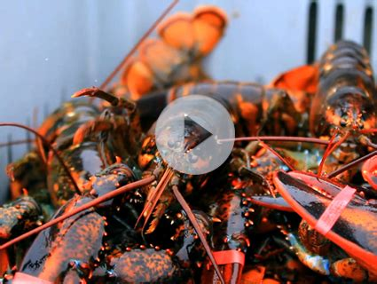 Here Is a Video of One Lobster Eating Another Lobster